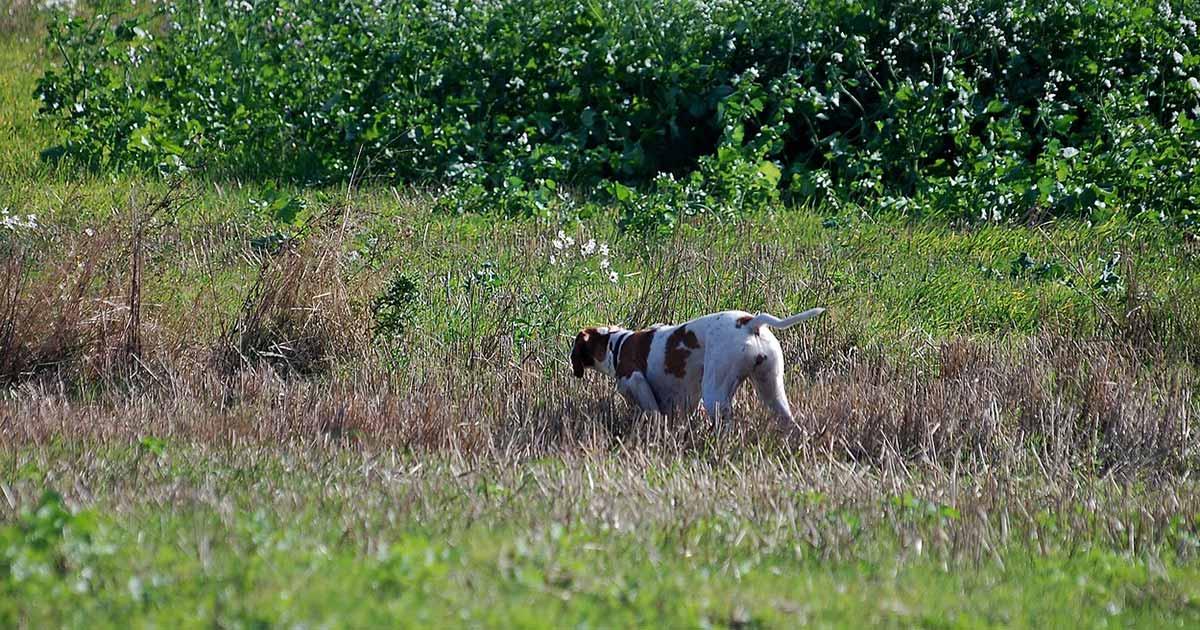 Træn rigtig praktisk jagt med stående hund