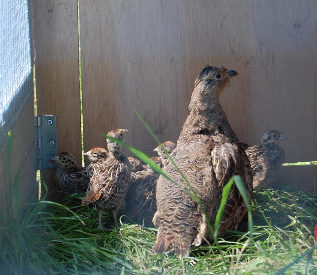 1 agerhønsfamilie